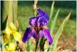 Iris April 27 *