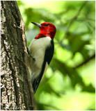 Red Headed Woodpecker April 28 *