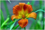 Day Lily May 1 *