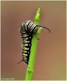 Monarch Caterpillar  May 2 *