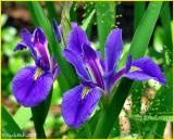 Louisiana Iris May 3 *