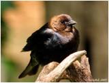 Brown-headed Cowbird  May 5 *
