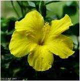 Yellow Hibiscus May 8 *
