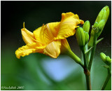 Day Lily May 10 *