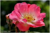 Rose May 11 *