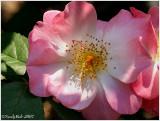 Rose May 12 *