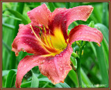 Day Lily May 16 *