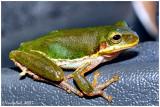 Green Tree Frog May 21 *