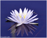 Water Lily May 23 *