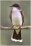Eastern Kingbird June 6 *