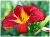 Day Lily June 7 *