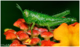 Tiny Grasshopper June 20 *