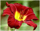 Day Lily June 22 *
