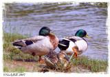 Three Ducks June 23 *