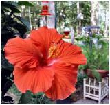 Hibiscus June 27 *
