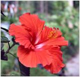 Hibiscus June 28 *