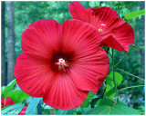 Red Pie Plate Hibiscus July 1 *