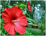 Hibiscus June 5 *