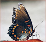 Red Spotted Purple Butterfly July 11 *