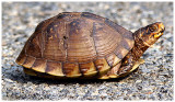 Box Turtle In The Road July 12 *