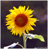 Sun Flower July 13 *