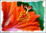Hibiscus July 23 *