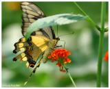 Butterfly July 25 *