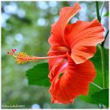Hibiscus July 26 *
