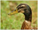 Duck July 27 *