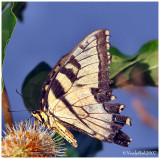 Tiger Swallowtail July 28 *