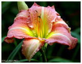 Day Lily July 29 *