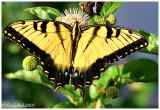 Tiger Swallowtail Butterfly July 30 *