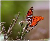 Buttefly August 2 *