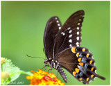 Spicebush Swallowtail Butterfly August 6 *