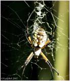 Garden Spider August 21 *