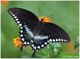 Spicebush Swallowtail August 29 *