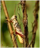 Grasshopper September 7 *