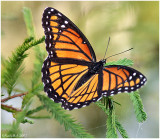 Viceroy Butterfly October 3 *