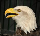 Bald Eagle October 8 *