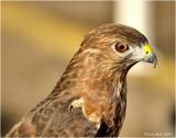 Broad-Winged Hawk October 9 *