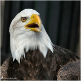 Bald Eagle October 10 *
