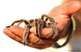 Tarantula October 19 *