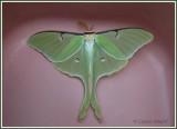 Papillon lune / Luna Moth / Actias luna