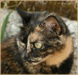 Chat écaille de tortue et calico (tricolore) / Tortoiseshell and Calico Cat