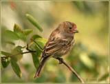 Roselin familier / House Finch