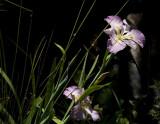 Irises in the backyard