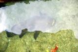 A BIG fish at the reastaurant