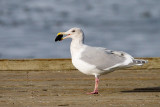 Hybrid Glaucous-Winged Gull x Western Gull with clam