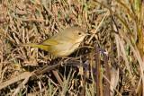 Common Yellowthroat, female