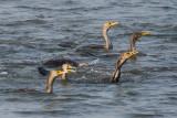 Double-crested Cormorants feeding